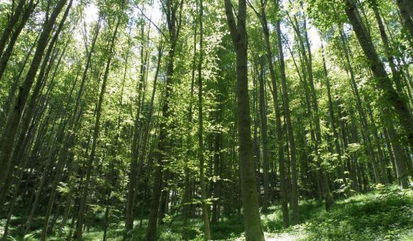 Букова гора в Беласица